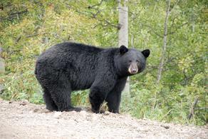კანადაში დათვმა ამერიკელი ქალი მოკლა