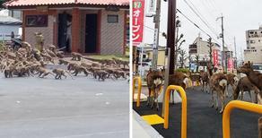 Wild animals walking in empty cities - PHOTO