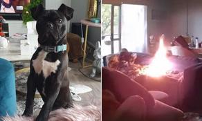 ავსტრალიაში 10 თვის ლეკვმა სახლი დაწვა - VIDEO