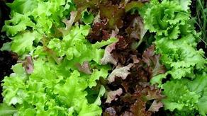 კოსმოსში გაზრდილი სალათის ფურცელი დედამიწაზე მოყვანილის იდენტურია