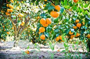 В Грузии закончился оранжевый сбор урожая