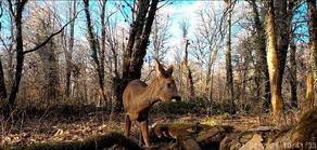 Fawns captured in Lagodekhi Natural Park - VIDEO