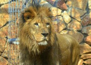 ზოოპარკის თანამშრომელ ქალს 2 ლომი დაესხა თავს