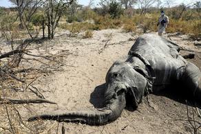 ბოტსვანაში სპილოების სიკვდილის კვლევის პირველი შედეგები ცნობილია - PHOTO