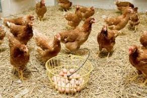 ქართული კვერცხი კონკურენციას ვერ უძლებს