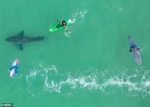 ცნობისმოყვარე ზვიგენმა სერფერები ნაპირისკენ გარეკა - VIDEO