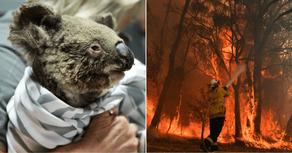 ავსტრალიის ტყეში ცხოველებს საკვები ვერტმფრენებით მიაწოდეს - PHOTO