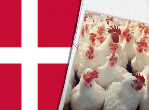 დანიაში ფრინველის გრიპის გავრცელების გამო 25 ათას ქათამს დახოცავენ