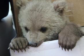 В Ахалцихе убили медвежонка, занесенного в Красную книгу