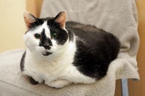 Самую толстую кошку Британии посадили на строгую диету - ФОТО