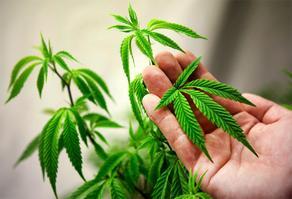 Употребление марихуаны повышает риск инсульта