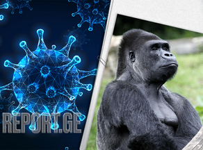 Коронавирус впервые обнаружен у горилл