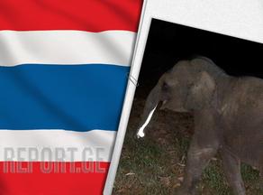 Тайский спасатель реанимировал сбитого мотоциклом слоненка - ВИДЕО