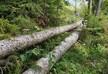 ბორჯომში ხე-ტყის უკანონო ჭრის ფაქტი გამოავლინეს