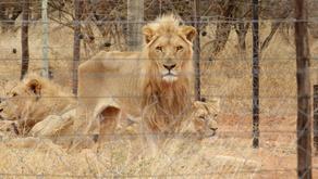 ლომებმა 21 წლის მომვლელი გოგო დაგლიჯეს
