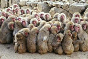 70 monkeys escape from  Japanese zoo