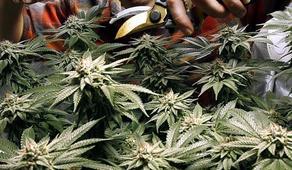 Колумбия выдала разрешение на экспорт каннабиса
