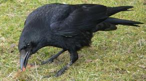 В Тбилиси ворона напала на пятерых женщин