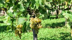 State may be involved in handing over the grapes