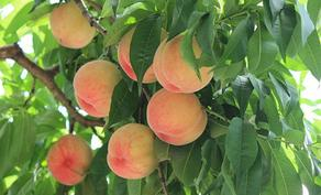 Georgia doing its best to organize the sales of peach