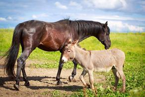 ამოღებულია კურორტებზე სარეალიზაციოდ გამზადებული ცხენისა და ვირის ხორცი