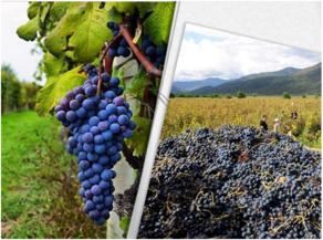 რაჭაში 1400 ტონამდე ყურძენი გადამუშავდა