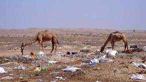 В желудке верблюда обнаружили до 2 тыс. пластиковых пакетов