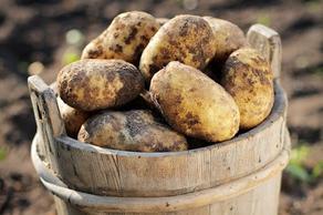 В Болниси ожидают урожай картофеля в 35 тыс. тонн