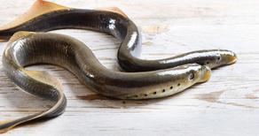 თევზი-ვამპირი დეპრესიისა და შფოთვის მკურნალობაში დაგვეხმარება