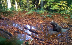 ბორჯომ-ხარაგაულის ეროვნულ პარკში ფოტო-ხაფანგმა მურა დათვი გადაიღო - VIDEO