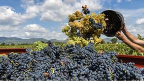 კახეთში 200 ტონაზე მეტი ყურძენი გადამუშავდა