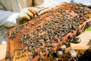პოსტკორონა კრიზისი თაფლის წარმოებაში